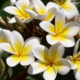 Flowering trees for south florida frangipani small tree from central america mightylinksfo