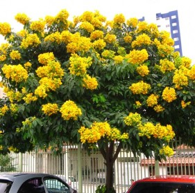 Flowering trees for south florida glaucous cassia tree fast growing flowering tree from polynesia mightylinksfo Choice Image