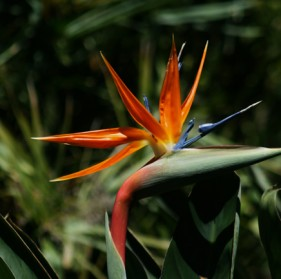 Orange Bird of Paradise